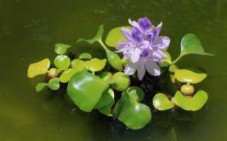 Водный гиацинт: посадка и уход в пруду и аквариуме, размножение, уход, фото
