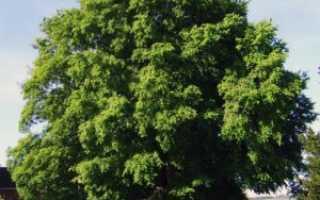Вяз гладкий: описание растения, выращивание и применение, болезни дерева и борьба с ними, фото