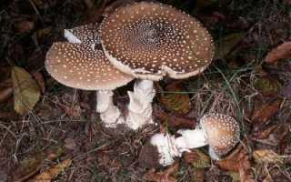 Ядовитый гриб — пантерный мухомор