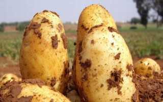 Картофель Уладар: характеристика и описание сорта, правила ухода и выращивания