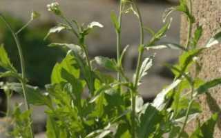 Пастушья сумка: лечебные свойства и противопоказания, ботаническое описание и применение в гинекологии