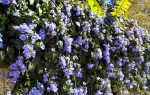 Тунбергия — выращивание и уход в домашних условиях