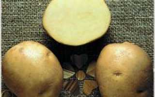 Картофель Ласунок: описание сорта, характеристики, достоинства, особенности выращивания, сроки и правила посадки, уход, отзывы