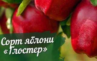 Сорт яблони Глостер: описание, посадка и уход, фото, отзывы