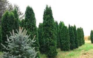 Туя Колумна (columna) западная: описание дерева, правила посадки, подходящий уход