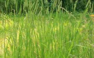 Злаковое растение тимофеевка луговая