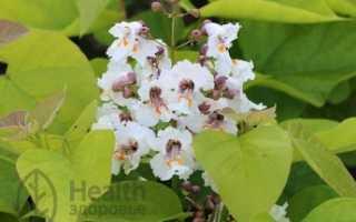 Катальпа: лекарственное растение, применение, отзывы, полезные свойства, противопоказания