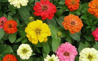 Цинния: как вырастить цветок рассадным методом