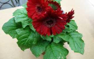 Комнатная гербера в горшках: особенности ухода за цветком в домашних условиях