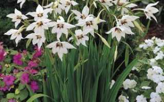 Ацидантера: уход и выращивание в открытом грунте, выращивание цветка в домашних условиях, посадка ацидантеры