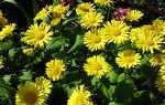 Цветок дороникум: посадка и уход в открытом грунте, фото, выращивание из семян