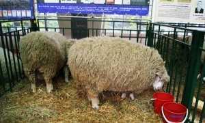 Достоинства и описание Куйбышевских овец с фото