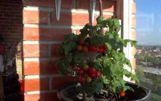 Выращивание помидоров на подоконнике в квартире: правильный уход в домашних условиях, технология от А до Я, как посадить на окне семена комнатных томатов в горшок?