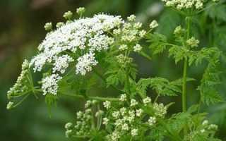 Трава Болиголов — лечебные свойства, польза и вред, рецепты приготовления отвара