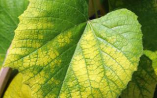 Хлороз винограда: лечение, железный купорос