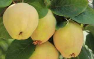 Айва (квитовое яблоко) полезные свойства