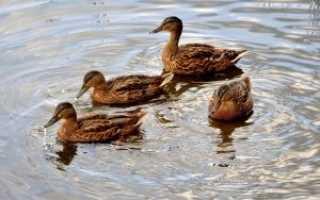 Строим водоем для уток и гусей сами: описание процесса