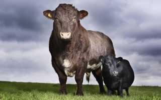 Самый большой бык в мире: сколько весят рекордсмены, описание крупных пород