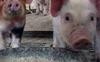 Классическая чума свиней: вакцинация, течение и симптомы, возбудитель, источники болезни, Ветеринарная служба Владимирской области