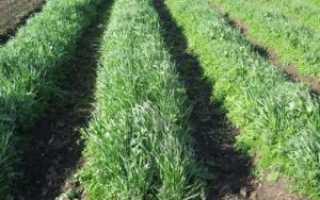 Рожь как сидерат осенью: когда сеять и закапывать, перекапывать