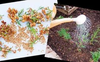 Выращивание туи из семян в домашних условиях, как прорастить, видео