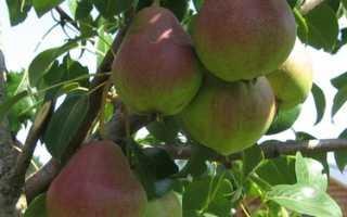 Сорт груши Верная: фото, отзывы, описание, характеристики