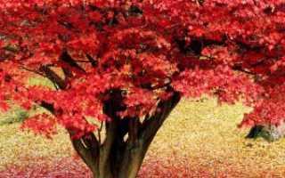 Клен красный: условия выращивания, использование, посадка и уход