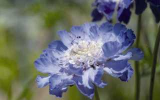 Скабиоза выращивание из семян, посадка, уход, размножение