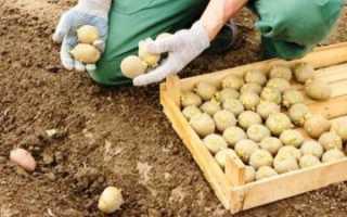 Советы огородников: когда нужно сажать картошку, чтобы получить большой урожай