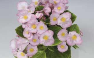 Бегония вечноцветущая: сорта комнатного растения и их описание с фото, выращивание и уход в домашних условиях, способы размножения