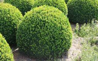 Самшит вечнозеленый — особенности, лечебные свойства, применение в народной медицине, противопоказания