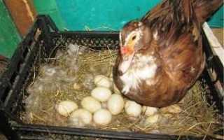 Когда индоутки садятся на яйца и почему не садятся