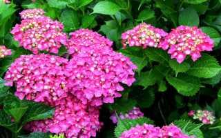 Гортензия: виды и сорта для российских садов (фото с названиями)