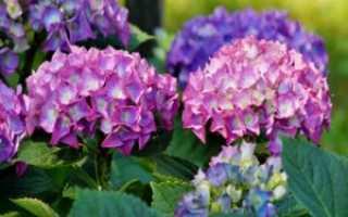 Посадка и выращивание гортензии осенью