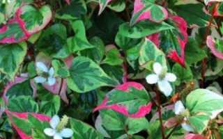Хауттюйния сердцевидная — декоративно-лиственное украшение сада