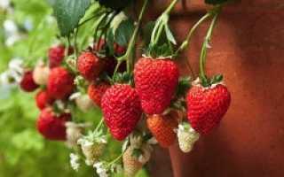 Советы и рекомендации по выращиванию клубники