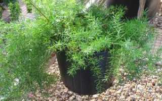 Аспарагус перистый: выращивание и уход в домашних условиях, фото, видео, РАСТЮНЬКА