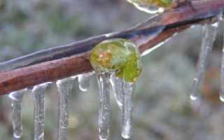 Обрезка винограда весной: правила для начинающих