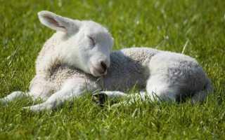 Болезни овец и их симптомы, лечение, профилактика – все что нужно знать фермеру о здоровье отары