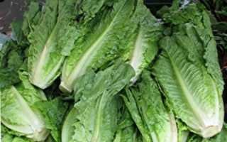 Как вырастить салат ромэн, польза и вред