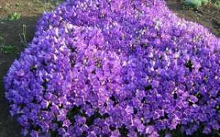 Садовая кампанула — красивый многолетний цветок в саду и правила ухода за ним