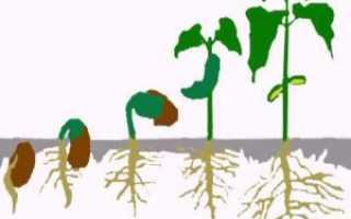 Гетероауксин: инструкция по применению универсального стимулятора корнеобразования