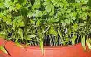 Выращивание кервеля в домашних условиях, ЧАСТНЫЙ ДОМ