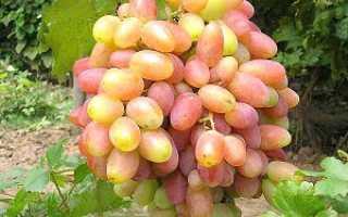 Виноград Юбилей Новочеркасска — описание сорта, посадка и уход, фото, отзывы