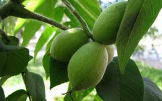 Дерево черный орех: как сажают, где растет, как он выглядит