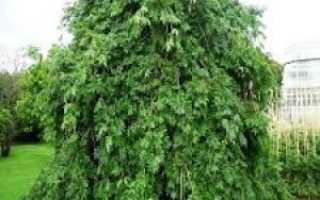 Ясень обыкновенный: нюансы выращивания полезного дерева (фото дерева и листьев)