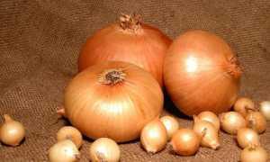 Лук штутгартер ризен: описание сорта, посадка и уход, выращивание из семян