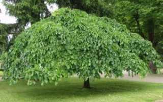 Вяз: фото и описание дерева