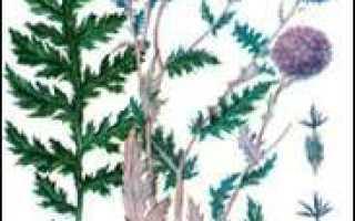 Мордовник (трава) – полезные свойства и применение, семена мордовника, настойка мордовника