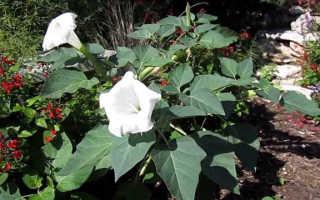 Датура (дурман) — выращивание и уход